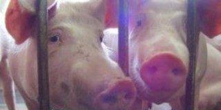 swinie1