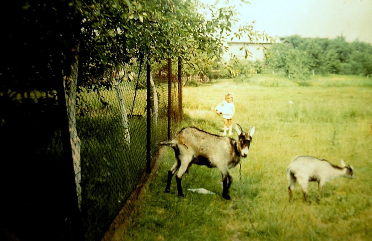 8. Kozy w okolicy Stacji, połowa lat 70-tych. Fot. Piotr Nogieć.